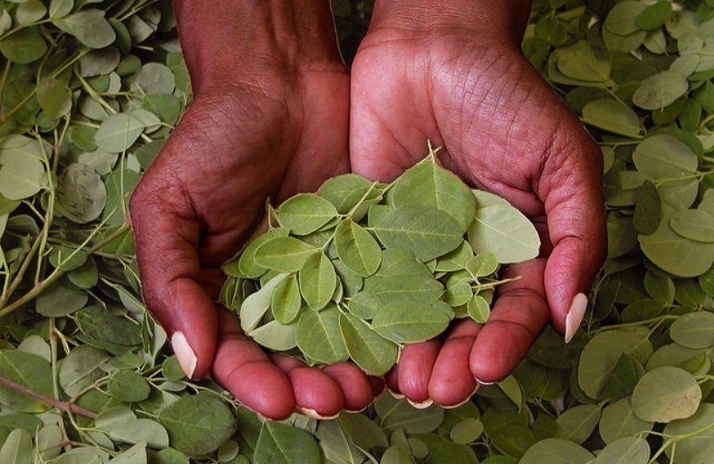 Conoce la Moringa: el �rbol que puede alimentar al mundo y purificar el agua